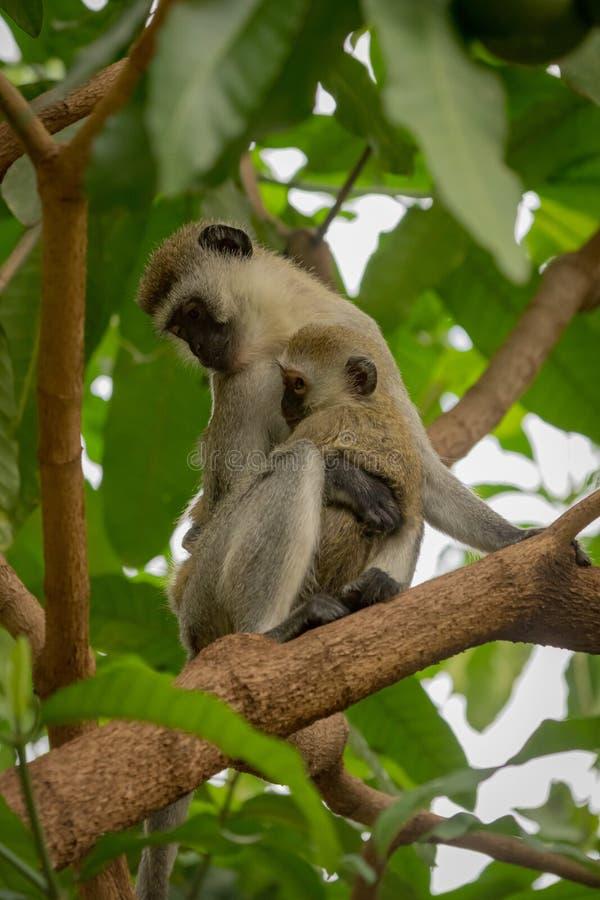 Bebé de abrazo de la madre del mono de Vervet en ramas fotos de archivo libres de regalías