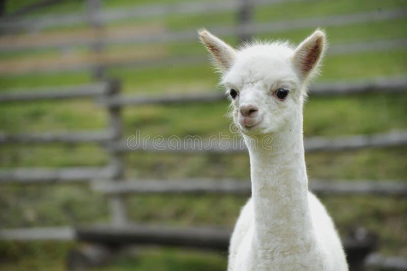 Bebé de la alpaca fotos de archivo