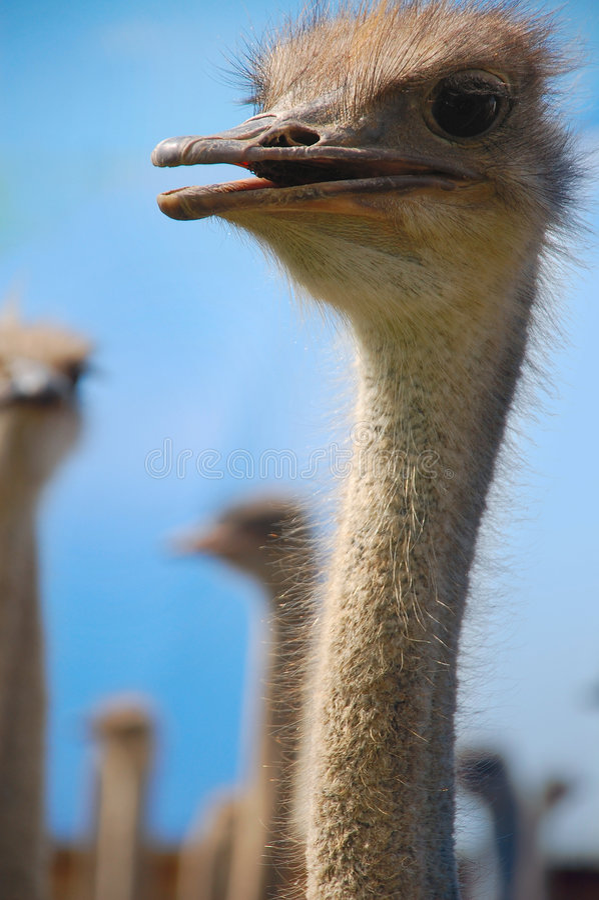 Bebé de la avestruz foto de archivo libre de regalías