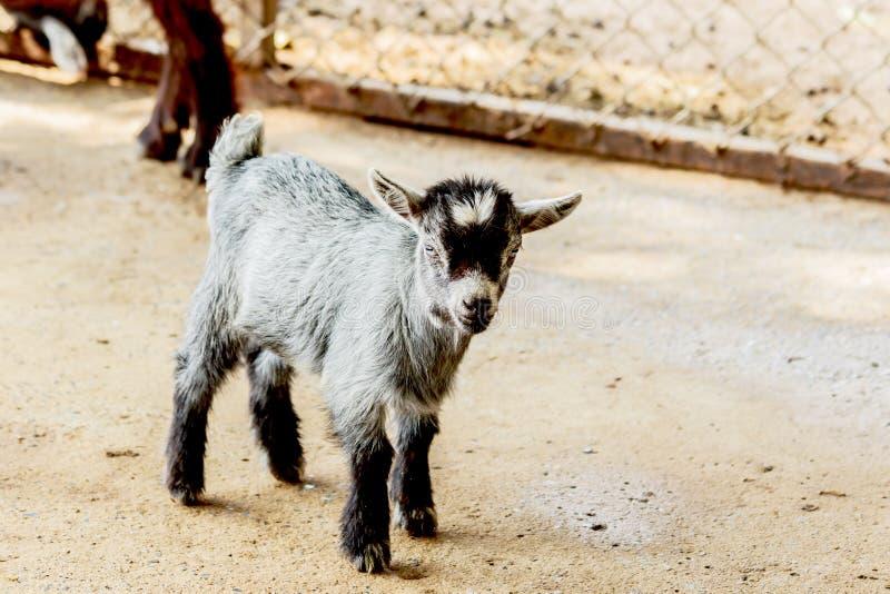 Bebé de la cabra en la granja Tailandia de la parada fotografía de archivo