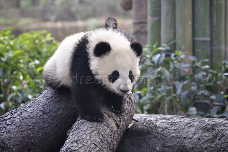 Bebé de la panda imagen de archivo