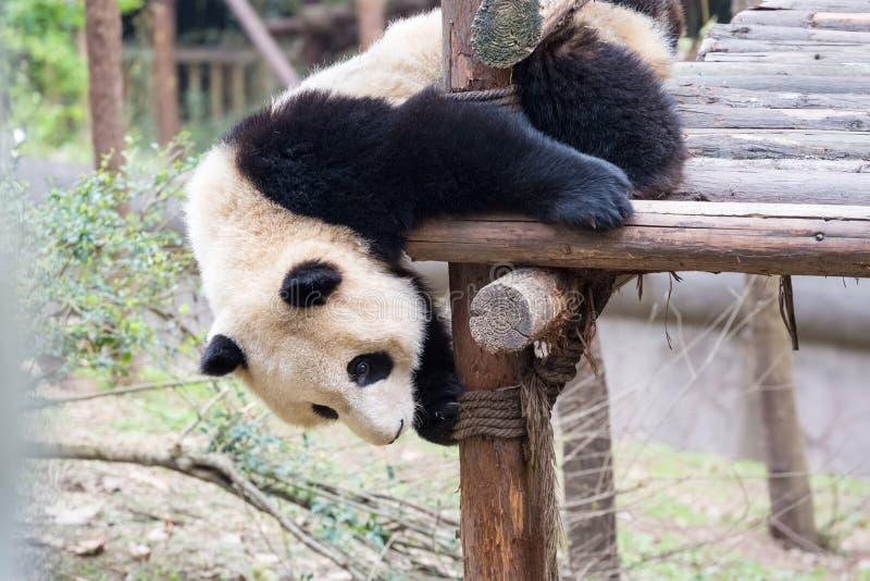 Bebé de la panda en juego foto de archivo