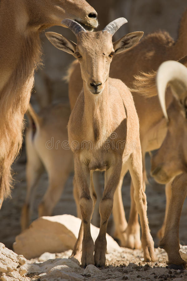 Bebé de las ovejas de Barbary imagen de archivo libre de regalías