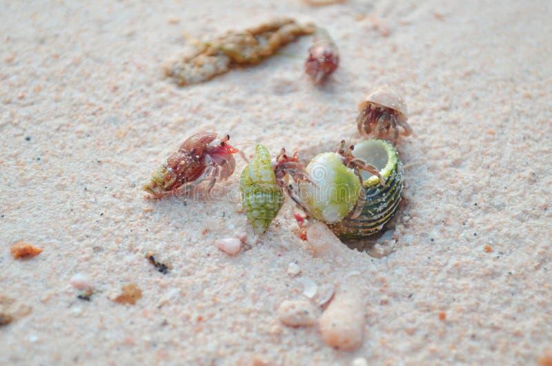 Bebé del cangrejo foto de archivo