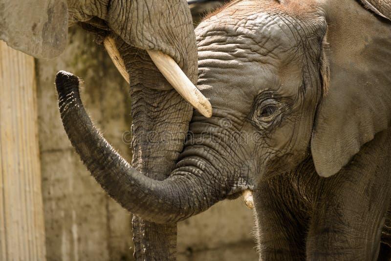 Bebé del elefante imagen de archivo