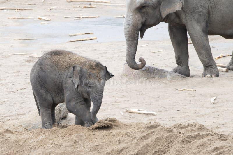 Bebé del elefante asiático que juega con la arena fotografía de archivo libre de regalías