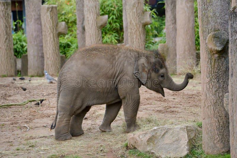 Beb? del elefante en el parque zool?gico imagen de archivo libre de regalías