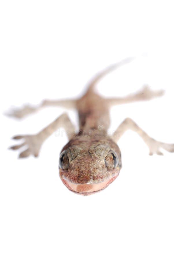 Bebé del Gecko aislado foto de archivo libre de regalías