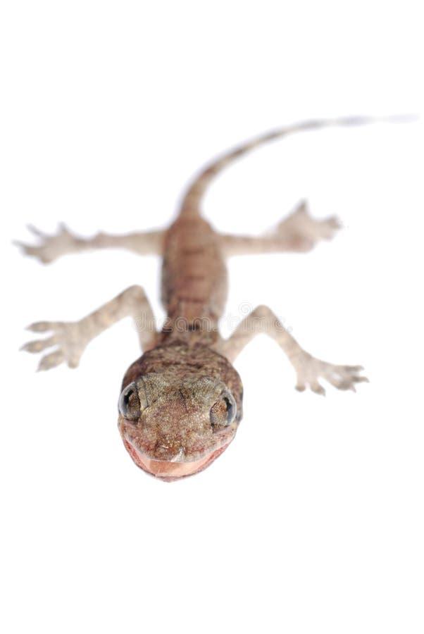 Bebé del Gecko aislado imágenes de archivo libres de regalías