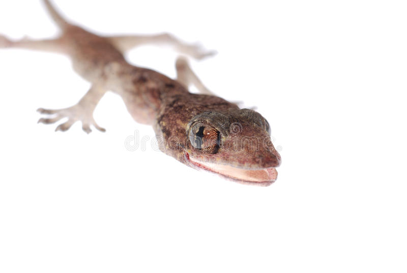 Bebé del Gecko aislado imagenes de archivo