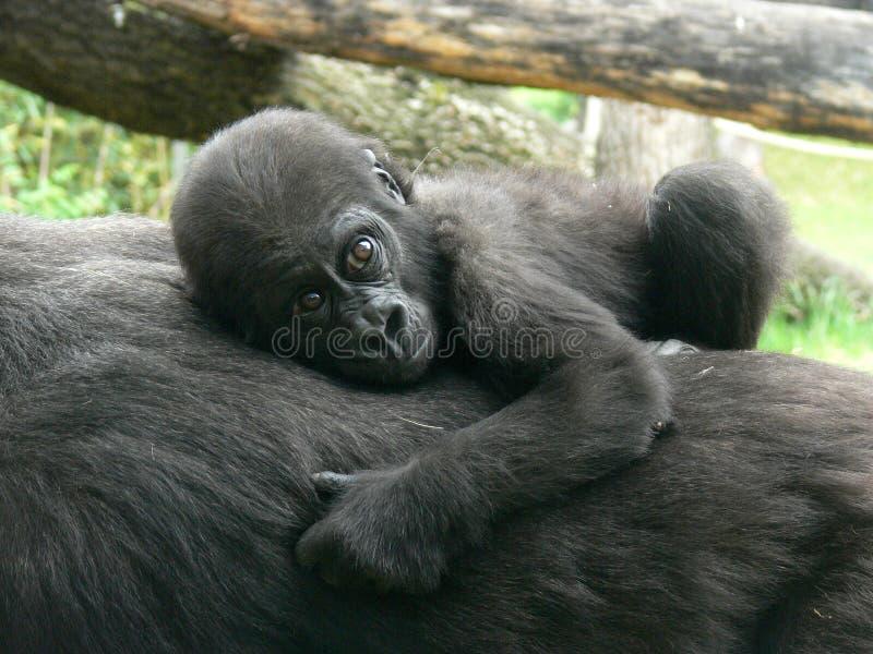 Bebé del gorila imagenes de archivo