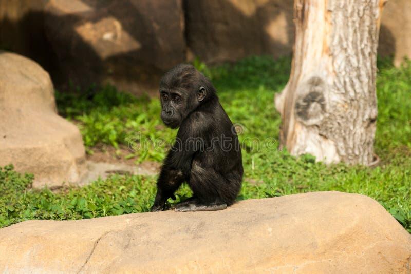 Bebé del gorila que se sienta en una piedra foto de archivo libre de regalías