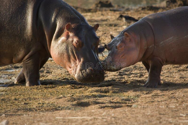 Bebé del Hippopotamus imagenes de archivo