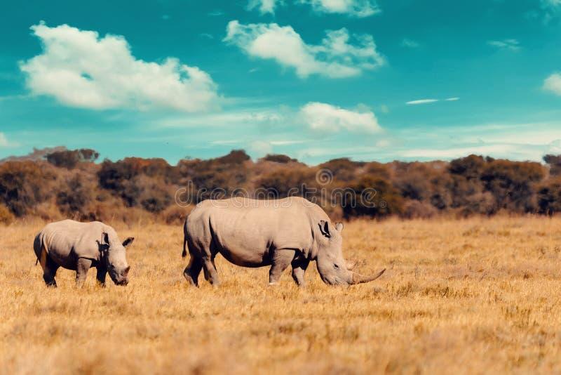 Bebé del rinoceronte blanco Botswana, África imagen de archivo