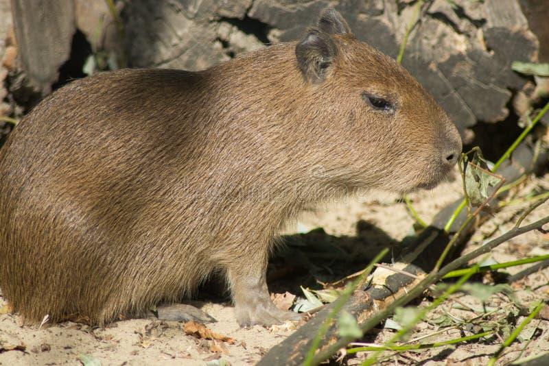 Bebé del ` s del Capybara foto de archivo libre de regalías
