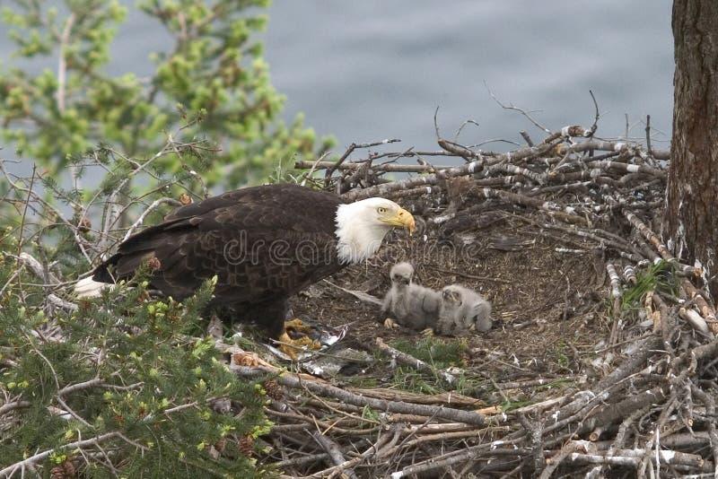 Bebé Eagles foto de archivo