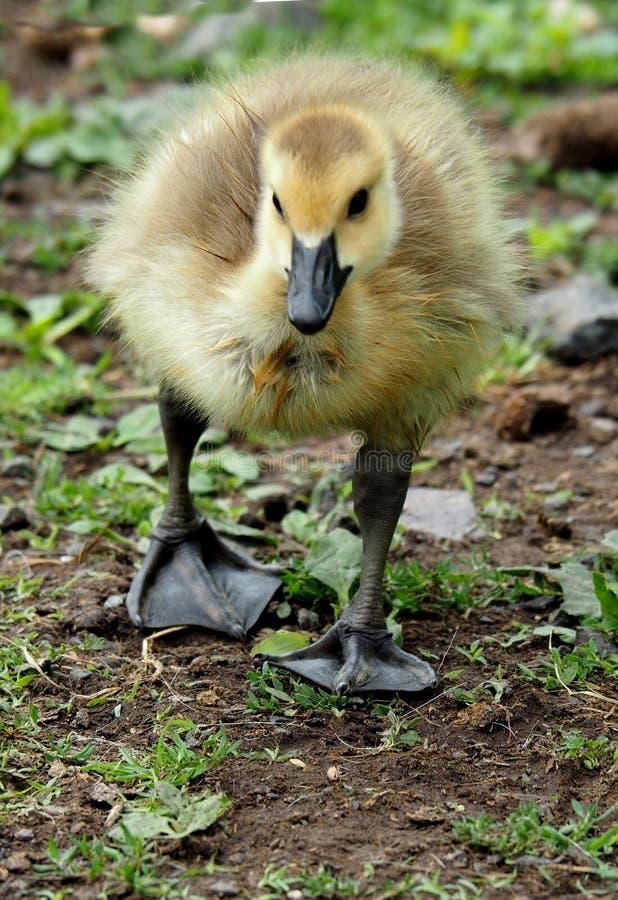 Bebé Gosling fotos de archivo