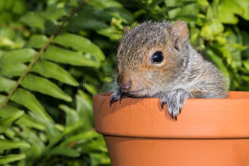 Bebé Gray Squirrel imágenes de archivo libres de regalías