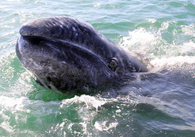 Bebé Gray Whale Face en San Ignacio Lagoon foto de archivo