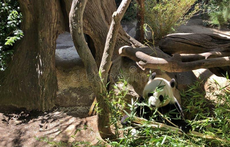 Bebé Panda Eating Bamboo en hábitat de la hierba y del árbol imagen de archivo