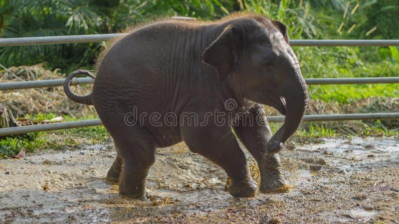 Bebé que juega en agua fangosa, Phang Nga, Tailandia del elefante asiático imagen de archivo