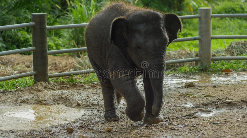 Bebé que juega en agua fangosa, Phang Nga, Tailandia del elefante asiático imagenes de archivo