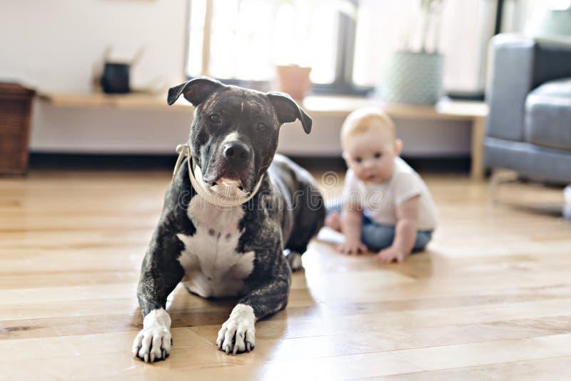 Bebé que se sienta con el pitbull en el piso imagenes de archivo