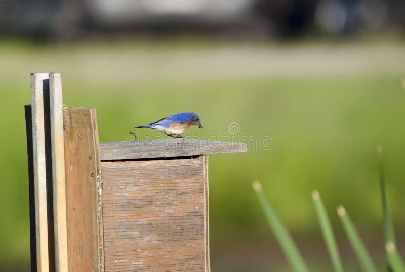 Bebés de alimentación del pájaro del este del azulejo en el nidal, Georgia, los E.E.U.U. fotografía de archivo