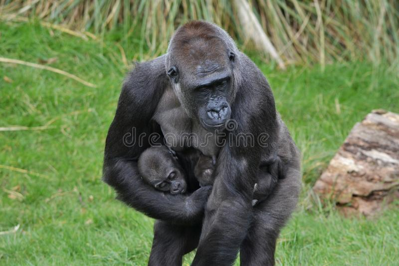Bebés de la madre del gorila imagenes de archivo