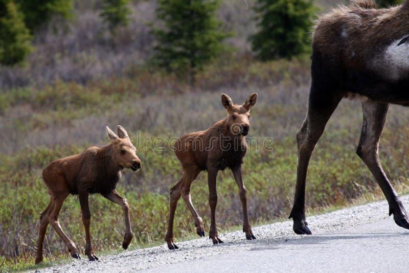 Bebés de los alces de Alaska en el parque nacional de Denali foto de archivo libre de regalías