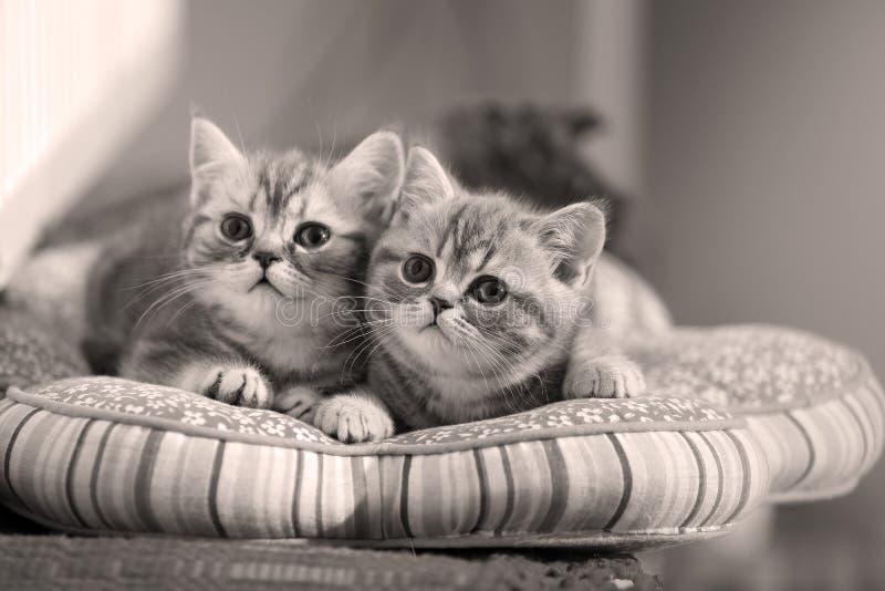 Bebés gemelos de los gatitos fotografía de archivo