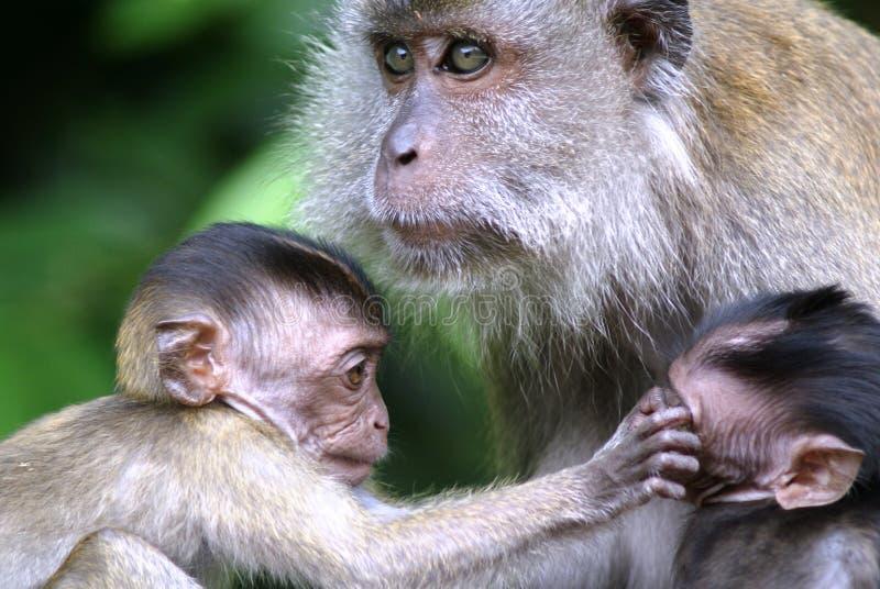 Bebés y madre del mono fotografía de archivo