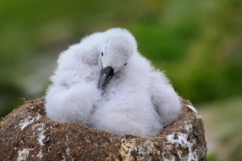 Bebê bonito do albatroz Preto-sobrancelhudo, melanophris de Thalassarche, sentando-se no ninho da argila em Falkland Islands Cena fotos de stock