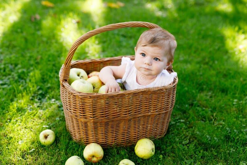 Bebê bonito que senta-se na cesta completamente com maçãs maduras em uma exploração agrícola no outono adiantado fotografia de stock