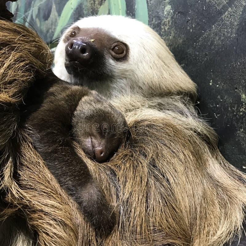 Bebê da preguiça fotografia de stock royalty free
