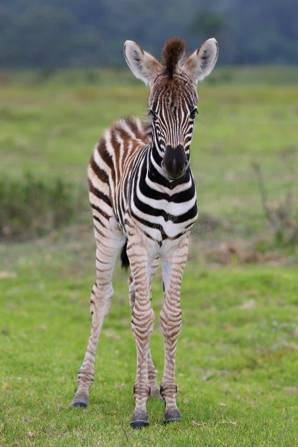 Bebê da zebra fotografia de stock royalty free