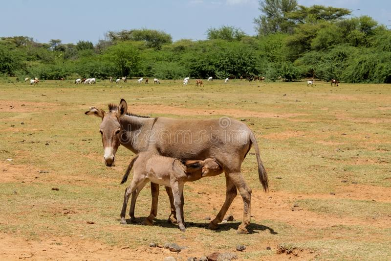 Bebê de alimentação da mãe do asno no campo da terra de exploração agrícola fotografia de stock royalty free