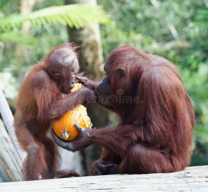 Bebê de alimentação do orangotango da mãe fotografia de stock