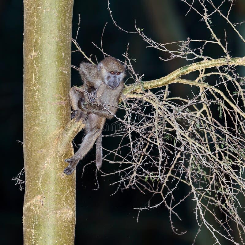 Bebê Do Babuíno Que Pendura Em Uma árvore Fotos de Stock Royalty Free