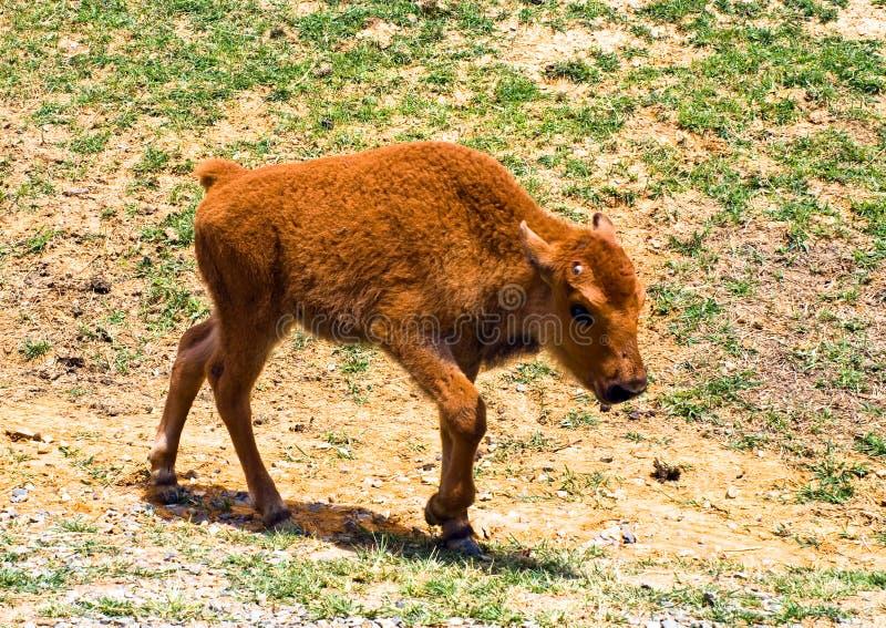 Bebê do bisonte fotos de stock royalty free