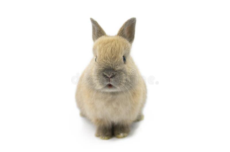 Bebê do coelho do anão de Netherland fotos de stock
