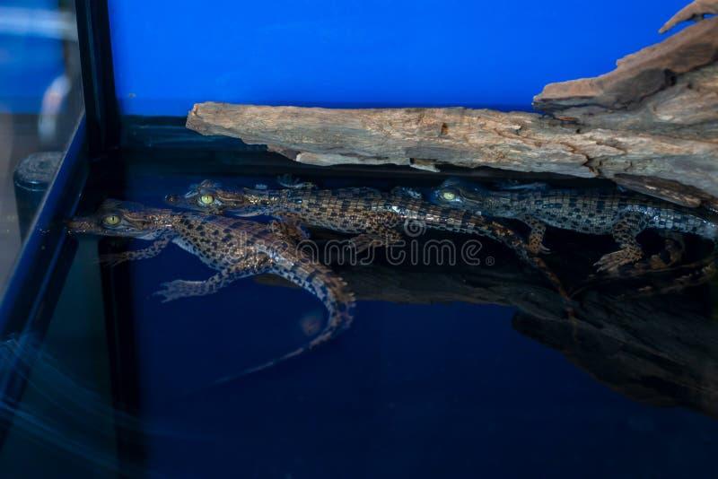 Bebê do crocodilo ou Crocodylus Porosus que encontra-se na madeira imagem de stock royalty free