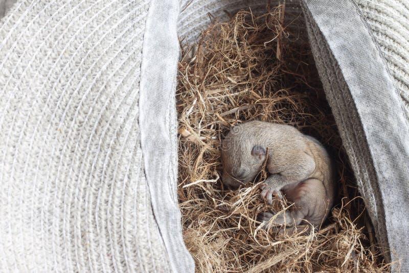 Bebê do esquilo que dorme em um ninho fotografia de stock royalty free