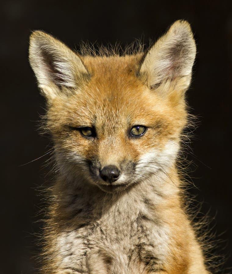 Bebê do Fox vermelho fotos de stock