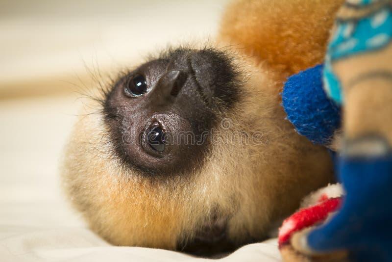 Bebê do Gibbon imagem de stock