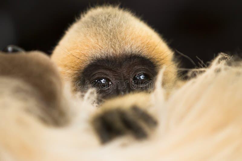 Bebê do Gibbon fotos de stock royalty free