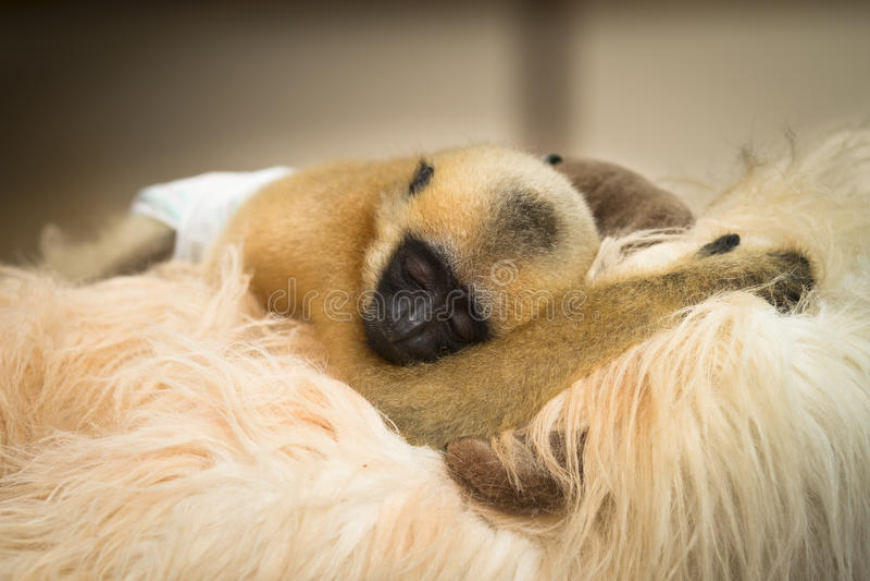 Bebê do Gibbon foto de stock royalty free
