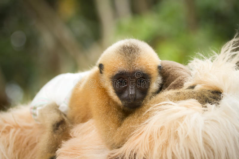 Bebê do Gibbon fotografia de stock