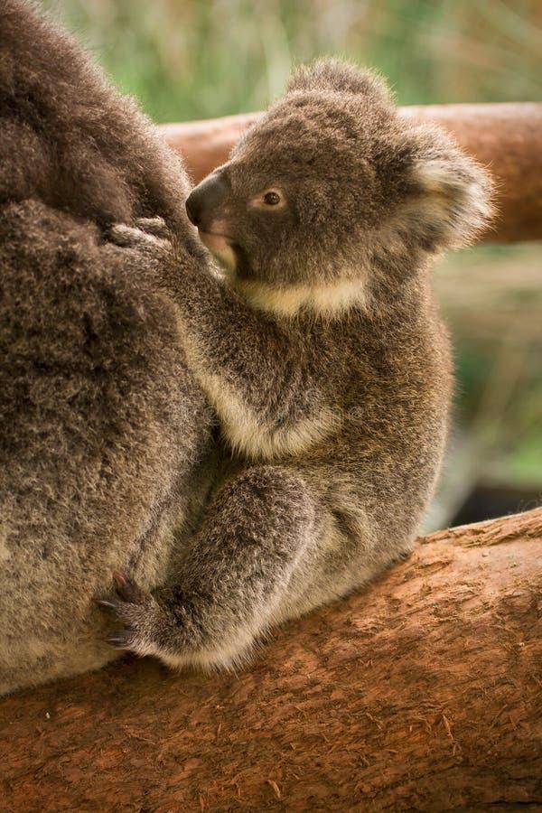Bebê do Koala foto de stock