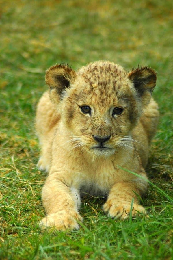 Bebê do leão imagens de stock